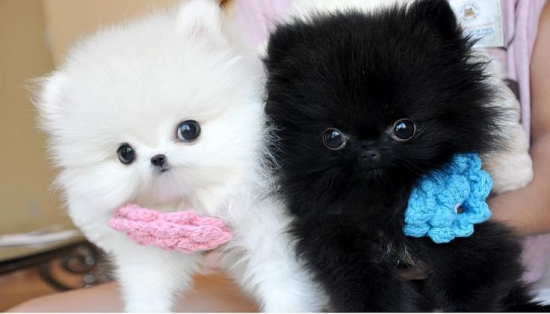 T-cup Pom Puppies! Text  (727) 900-5127